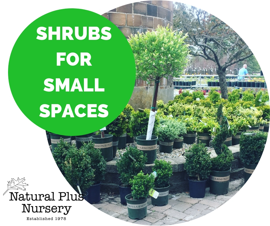 SHRUBS FOR SMALL SPACES.jpg
