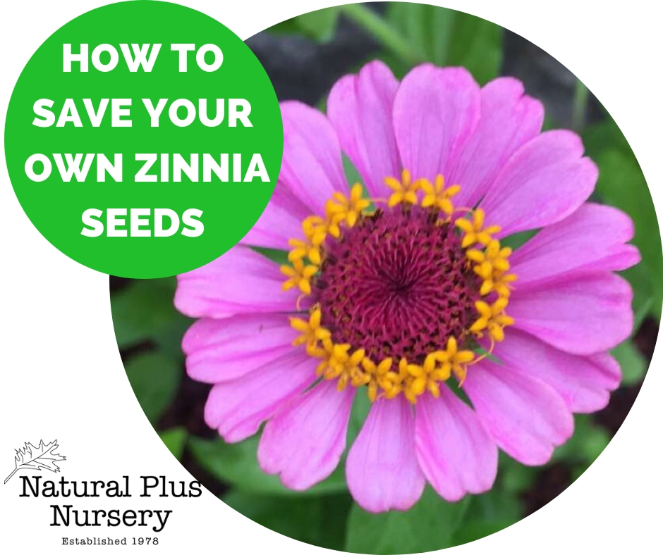 HOW TO SAVE YOUR OWN ZINNIA SEEDS.jpg