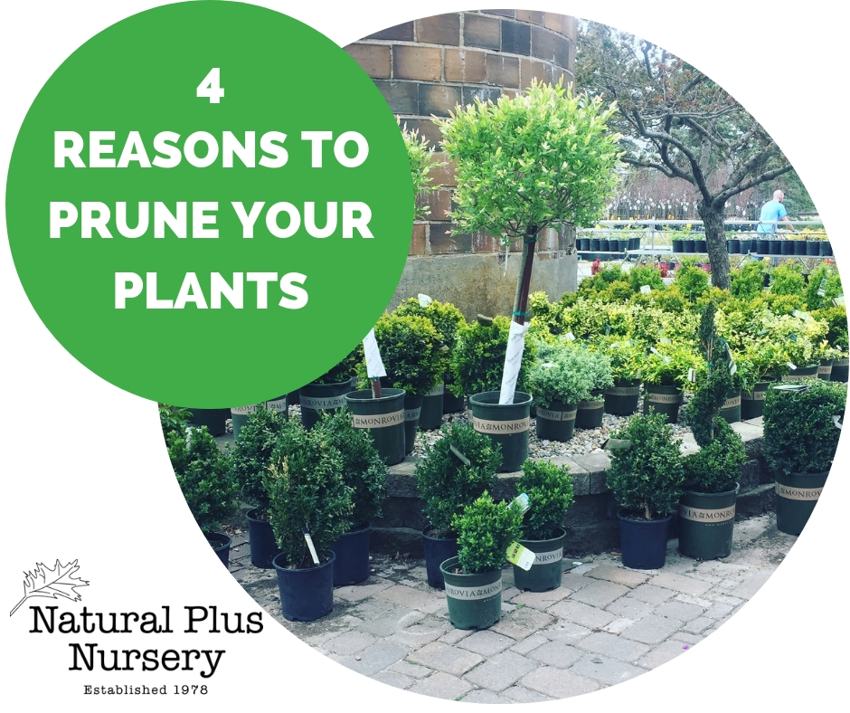 4 REASONS TO PRUNE YOUR PLANTS.jpg