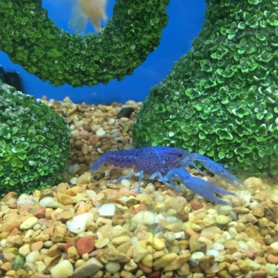 The Florida blue crayfish in its natural habitat in Petco.