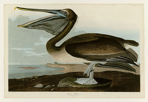 Audubon draws a murder beak.