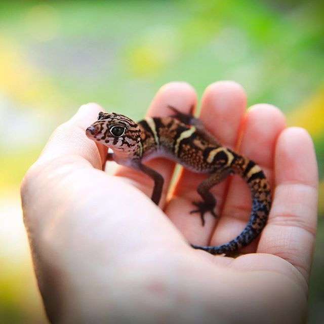 Often assumed venomous and killed on sight because of its striking markings, the Yucatán Banded Gecko is a harmless and beautiful native inhabitant of Belize.  #looksaredecieving #knowledgeispower #bekindtoall #herpetology #belize #studyabroad #geckosofinstagram #centralamerica #gecko