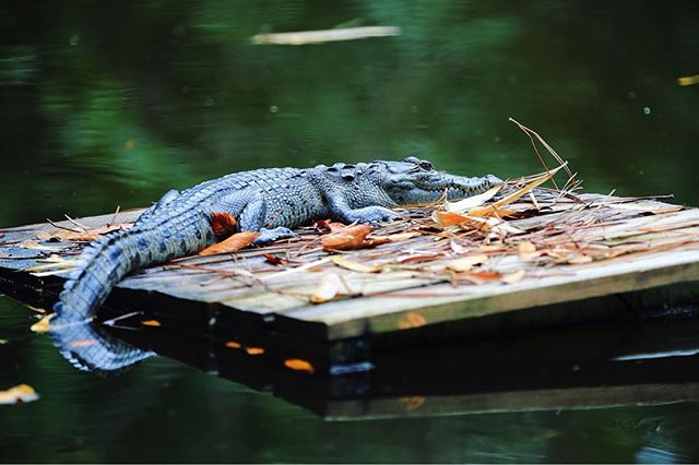 We have a new guest in our pond at Monkey Bay Campus! A juvenile #morletes #crocodile !