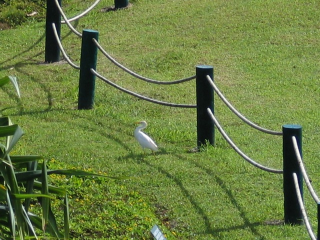 Cattle Egret in the lawn below