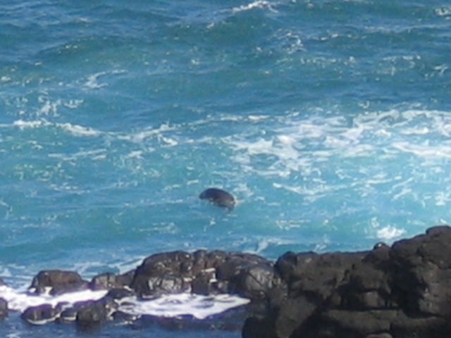 Hard to see, but that's a rare Monk Seal