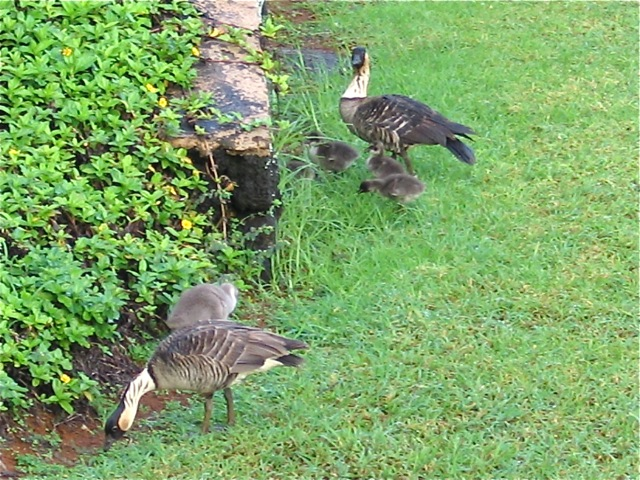 Baby Nene Geese (with their parents)
