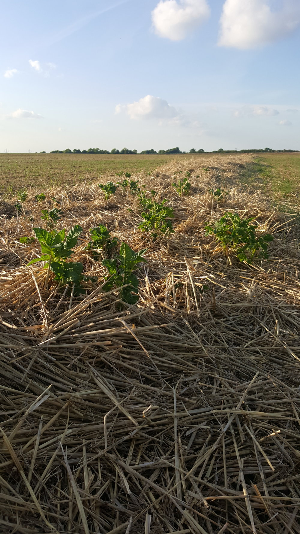 The No-Till Spud experiment area in the Roadshott Field at Groundswell