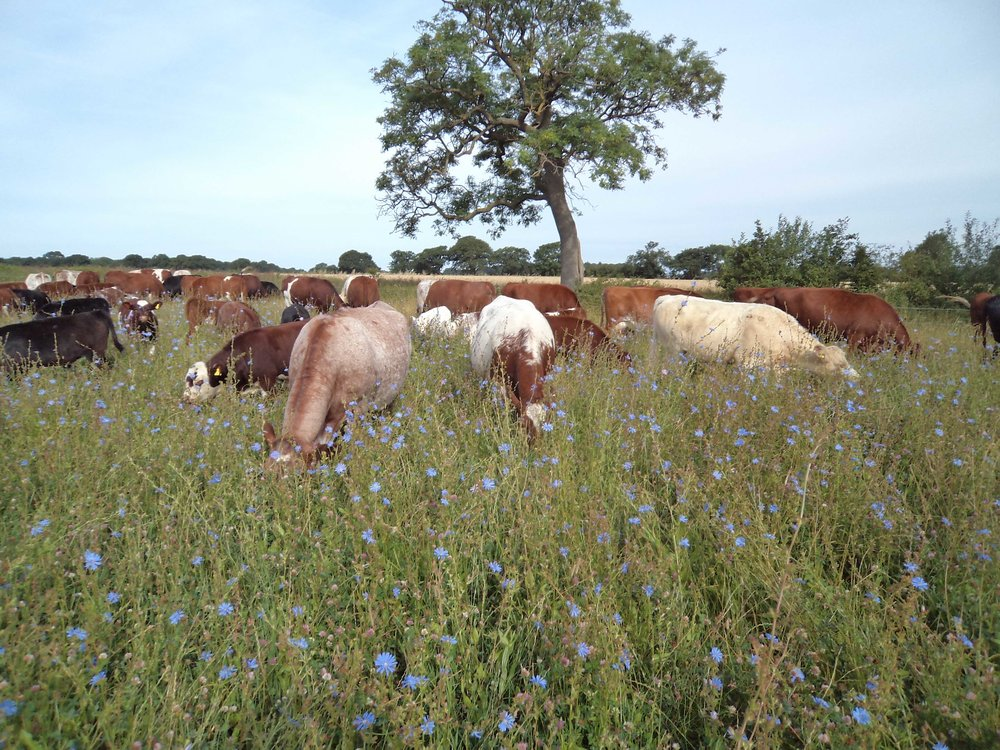 Groundswell Cows in Meadow
