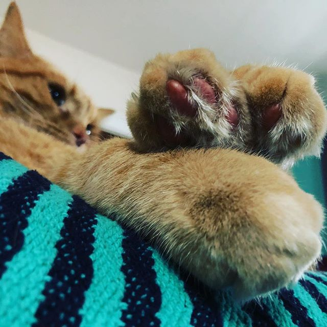 So many beautiful toes!! #waldocat #catsofinstagram