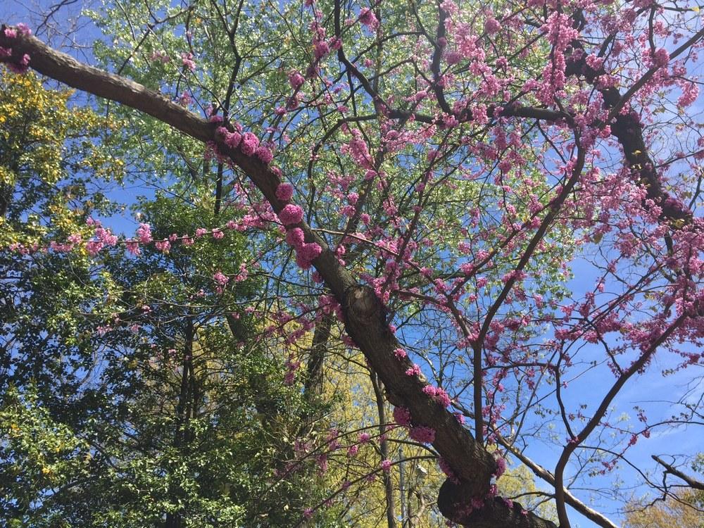 Sakura Matsuri : Park Slope Brooklyn