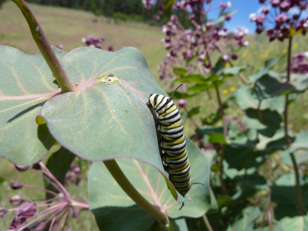 A monarch butterfly caterpillar munching on heartleaf milkweed near Anderson Butte in the Little Applegate watershed.