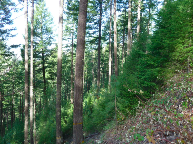 An example of dense understory fuel increase following commercial logging treatments on BLM lands in the Applegate Valley. As these understory fuel loads grow they create extreme fuel loads and fuel laddering, drastically increasing fire hazards.