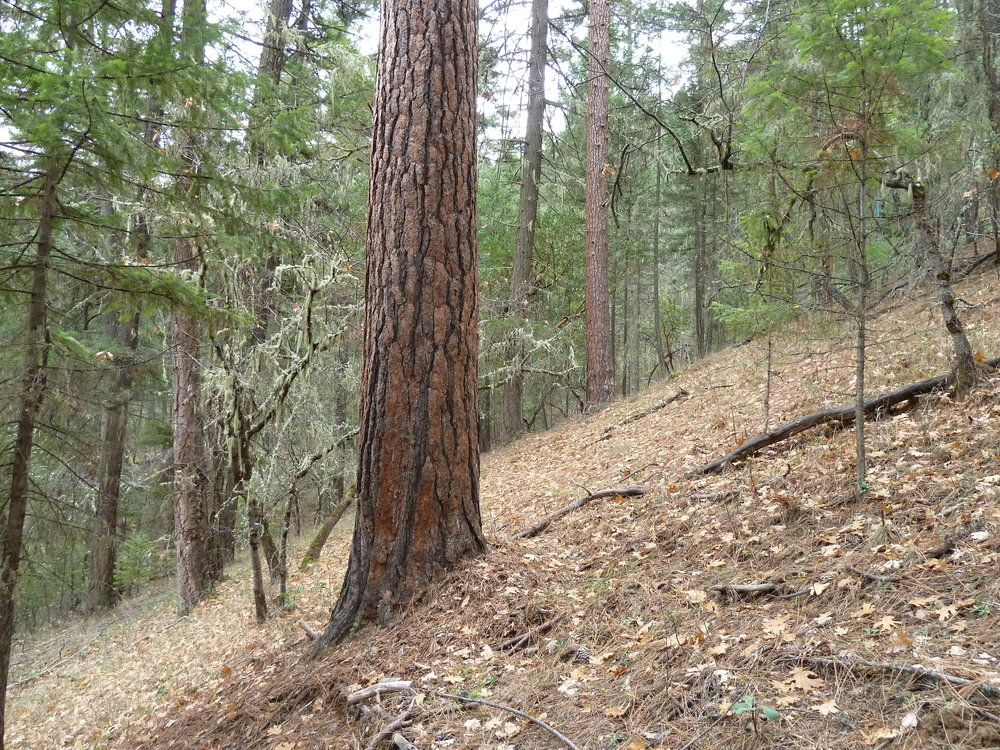 Unit 33-20 was canceled from the Nedsbar Timber Sale following input from ANN and the the Siskiyou Crest Blog. The unit is located on the high divide between Yale Creek and the Little Applegate River.