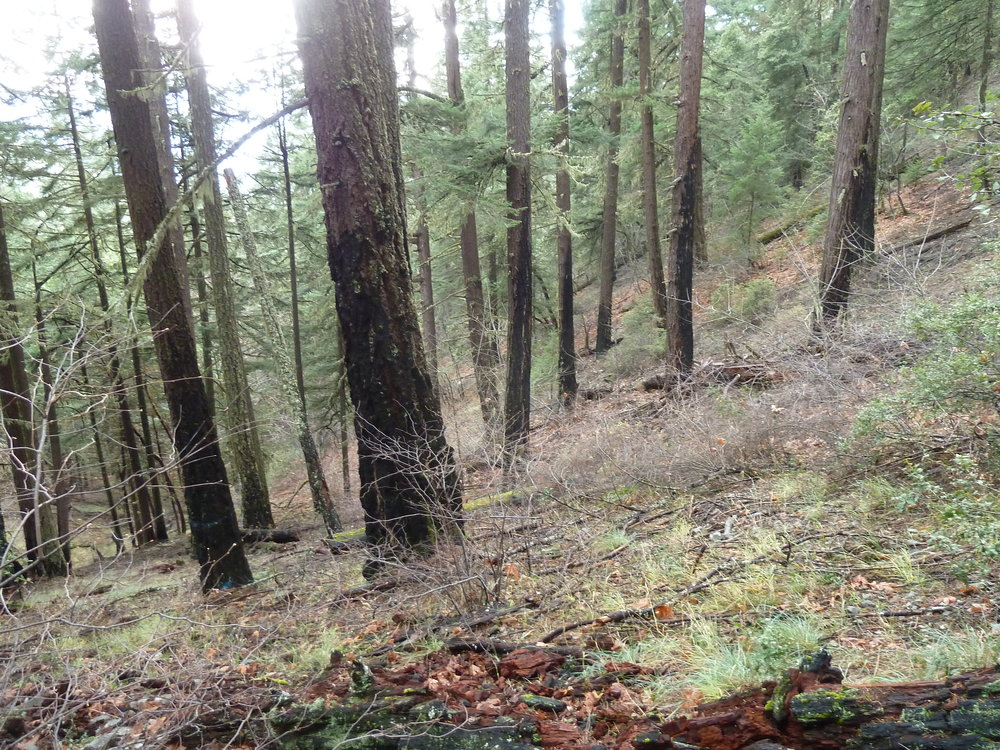 "An already fire-adapted forest in Rocky Gulch off North Applegate Road — burned in the 1987 Savage Creek Fire — slated for logging for supposed ""fire resilency"" in the Pickett West Timber Sale proposed by the Grants Pass BLM Resource Area."