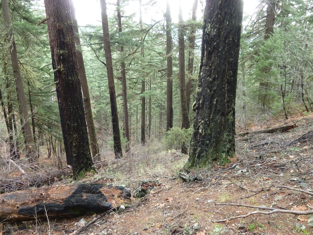 Old, fire-adapted forest in the Rocky Gulch watershed above Missouri Flat and North Applegate Road is targeted for logging by the BLM in the Pickett West Timber Sale, but would be excluded from the Community Alternative proposed by ANN.