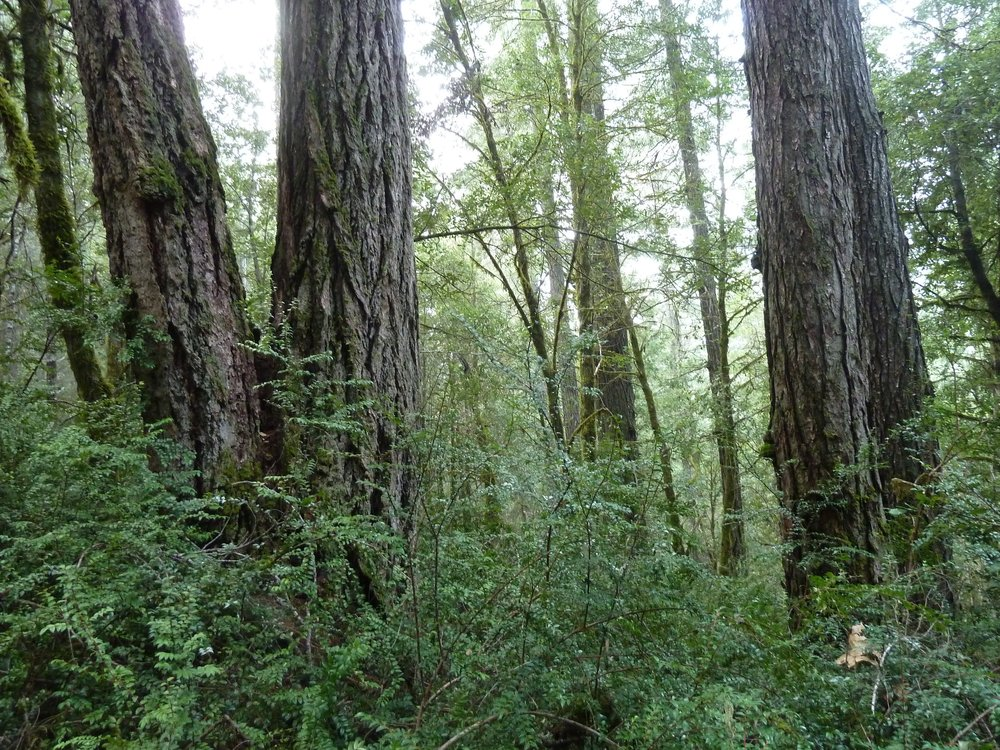 Lush, old forest like this stand on Cheney Creek is proposed for logging by the BLM in the Pickett West Timber Sale. This particular stand, and others like, it would be deferred from treatment in the Community Alternative; instead, commercial logging treatments would be focused on plantations stands and areas with previous logging history. The Pickett West Community Alternative would protect existing late-seral habitats while building resilience in younger stands. The Community Alternative would both protect our existing old forest and manage our younger stands for old-growth characteristics. This is especially important in watersheds like Cheney Creek that retain less than 10% of their original old-growth forest.