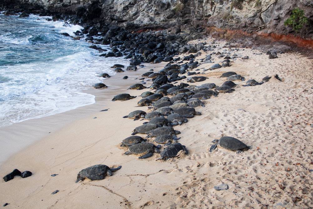 Over 40 sea turtles at Ho'okipa Beach!