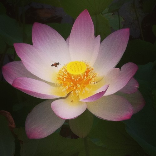 Lotus-2-e1438570418100.jpg
