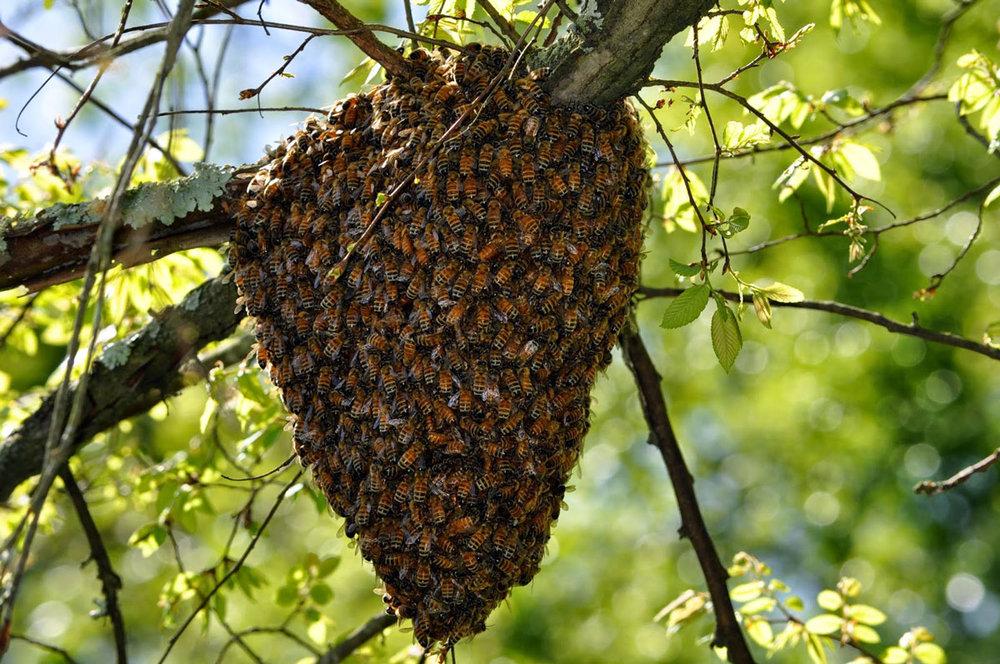 Bee-Swarm-1.jpg