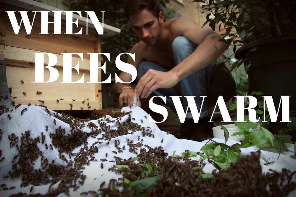 Find out more about what happened when our bees swarmed in July.