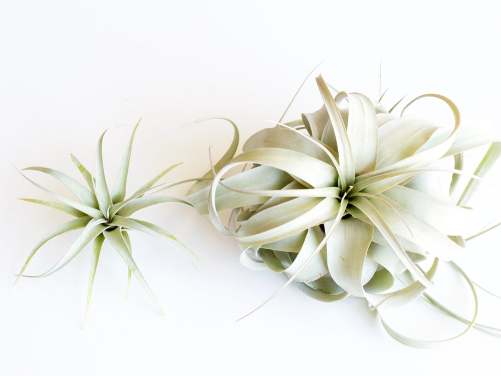 Clean Your Lungs...  Airplant (Tillandsia Xerographica Seedling) by  Spyloh