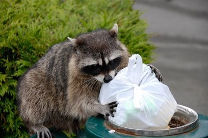 raccoon_in_garbage_l7.jpg