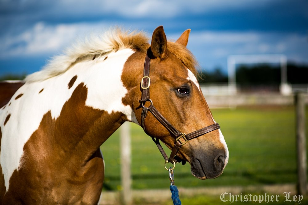 Garfield - 18 year old Paint gelding.How many times can we clone this wonderful boy? Garfield is one of the most flexible horses on the property, having done it all during his life. Garfield excels at everything he does, including dressage, show jumping, three day eventing, as well as sports and therapy lessons here at Horses for Healing. Not only does he have broad life experiences to share with his students, he has a perfect personality, and he's quite a looker too!Sponsored by: