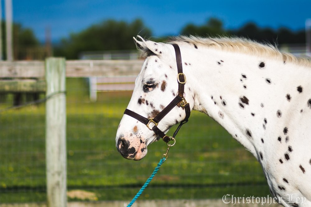 Checkers - 21 year old POA geldingCute as a button with his white coat and dark spots, Checkers is a dreamboat! He loves allowing children to learn grooming skills and participating in stable management classes. With wonderful manners, he's the perfect pony to teach the fundamentals of good horsemanship. Checkers is also great in lessons with young children who are ready to ride independently.Sponsored by:   Patsy Mooney