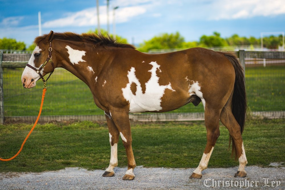 Hunter - 10 year old chestnut and white Paint gelding.Hunter is one of our younger therapy horses, who does both therapy lessons as well as sports riding, showing his versatility and superb training. He specializes in bringing up the skill level in intermediate and advanced riders, as well as teaching beginner riders some of the technical skills that riders need.Sponsored by:
