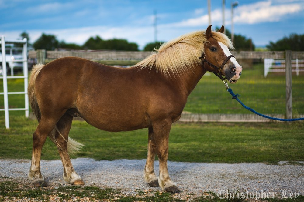 Tonka -  15 year old Haflinger gelding.Tonka is relatively new to the program, having only been with us not quite a year. He's proven to be just like his name – sturdy, strong, and will do his job happily. He settled into his therapy horse role very quickly, and is a very valuable member of the team!Sponsored by:   Bobby Bittle