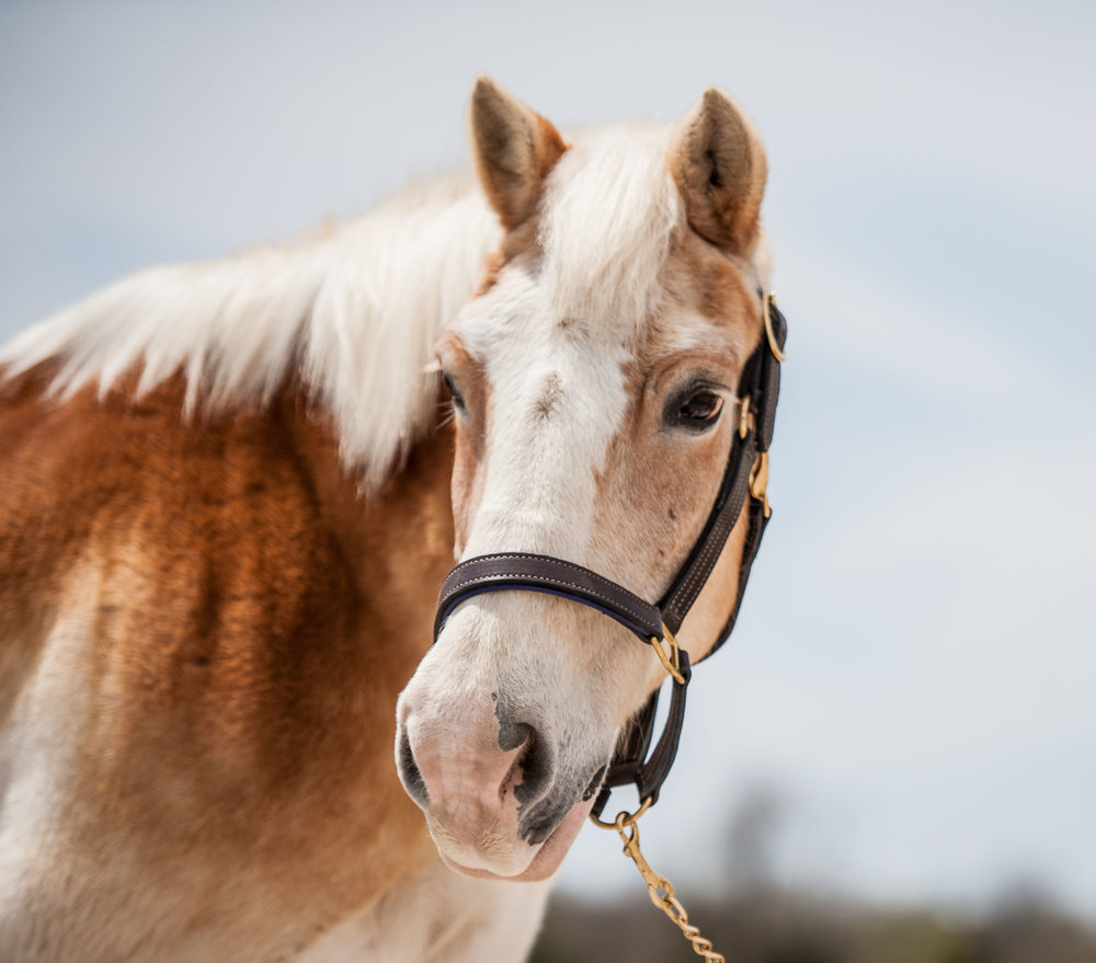 Jay Jay      25 Yr old Haflinger gelding      Sponsor: The Towle, Haulcy, Stout, Campbell, Jasan, Ward, & Perry Families