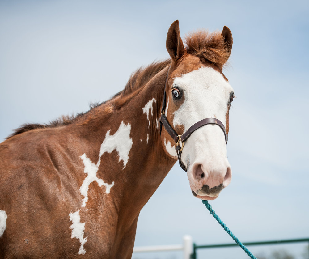 Hunter      11 yr old chestnut and white Paint gelding      Sponsor: Jim Necessary