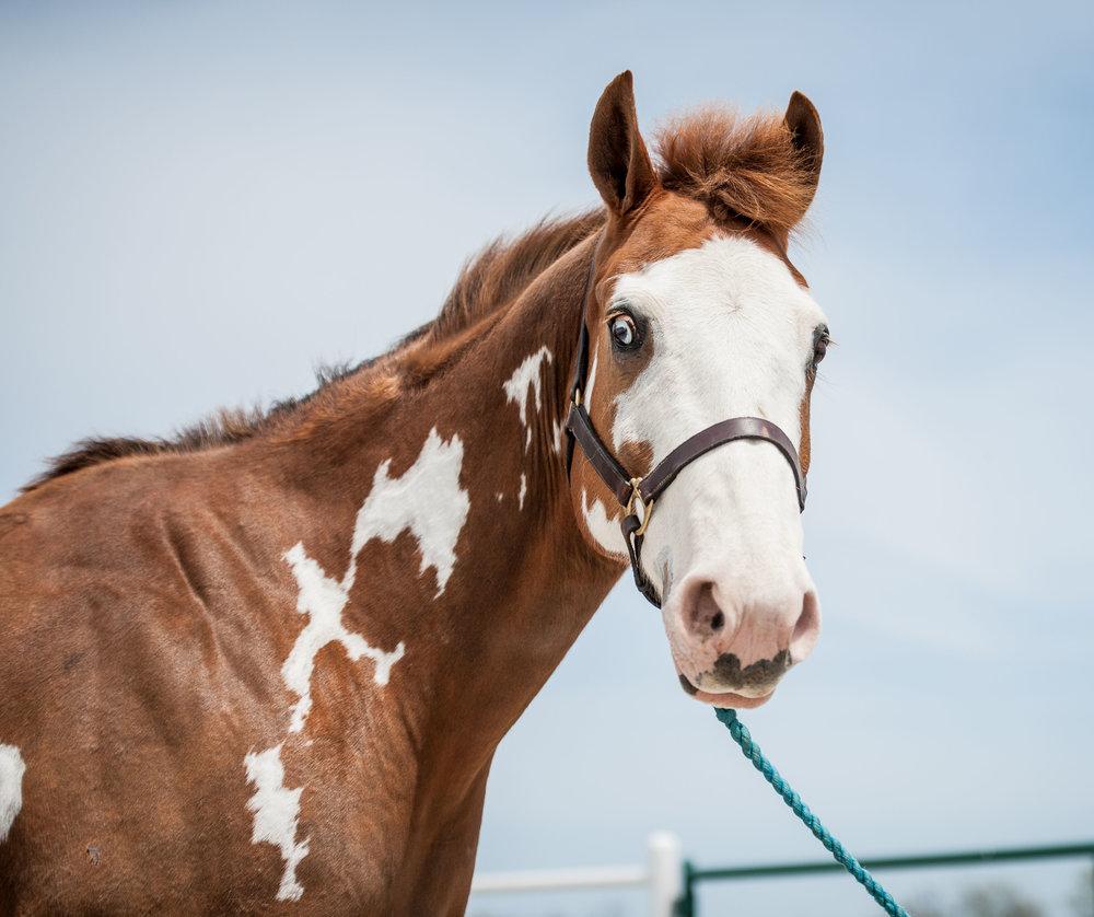 Hunter      11 yr old chestnut and white Paint gelding      Sponsor: Jim Necessary