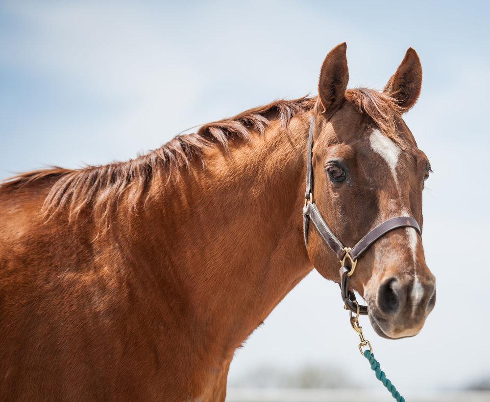 Junior      19 yr old Quarter Horse gelding