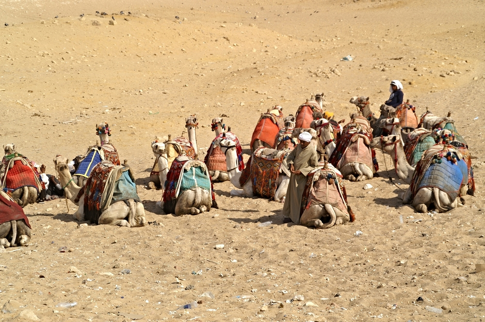 Egyptian Pyramid Camels