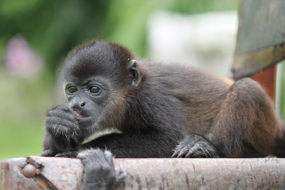 Infant Mantled Howler Monkey: Chito (or as I like to name her, Cheeto)