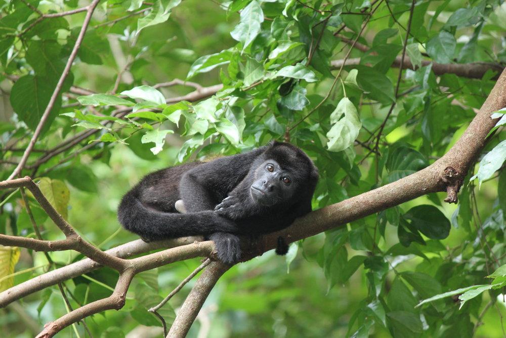 Juvenile Mantled Hower Monkey: Maggie