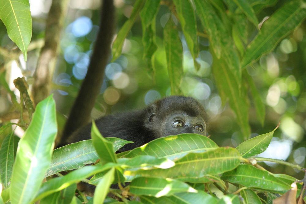 Infant Mantled Howler Monkey: Penny