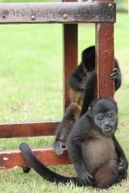 Infant Mantled Howler Monkeys