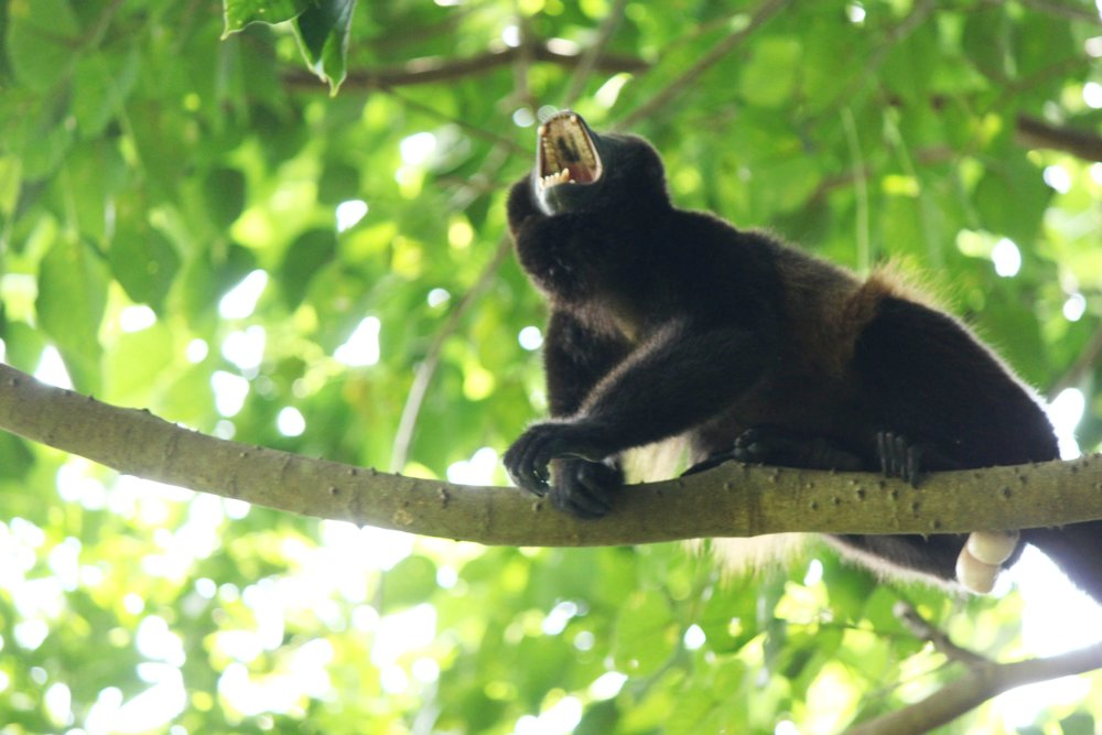 Wild Male Mantled Howler Monkey