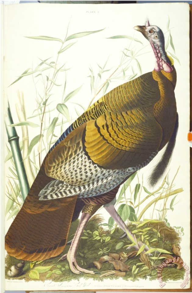audubon_great_american_beck_male_wild_turkey.jpg