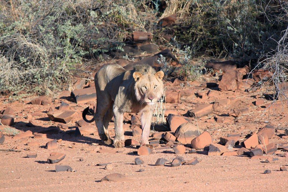 Male Lion After A Hunt