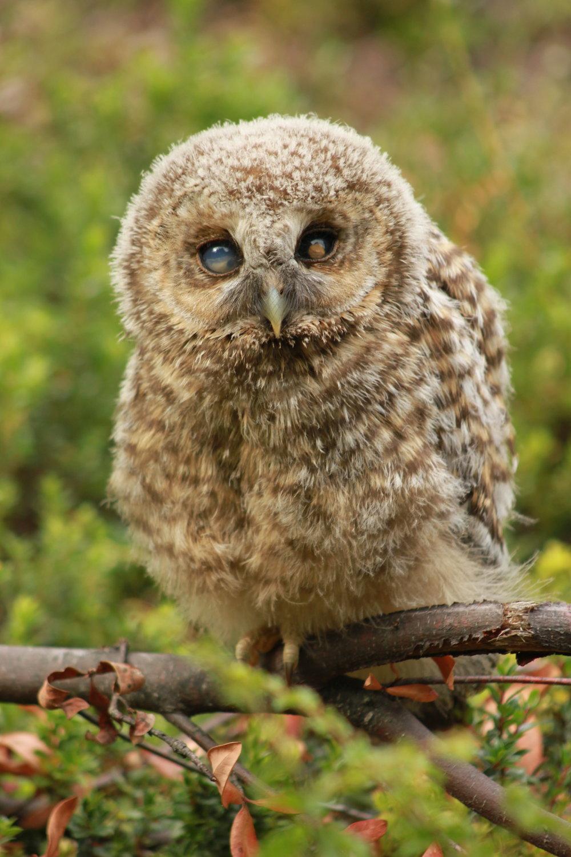Rufous-legged Owl, Baker River, Patagonia