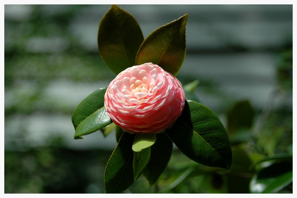Camellia invades America, conquers Alabama (public domain photo)