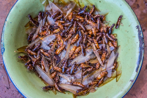 Termites, ready to eat!  Photo: TimCowley, CC BY-SA 4.0 via Wikimedia Commons