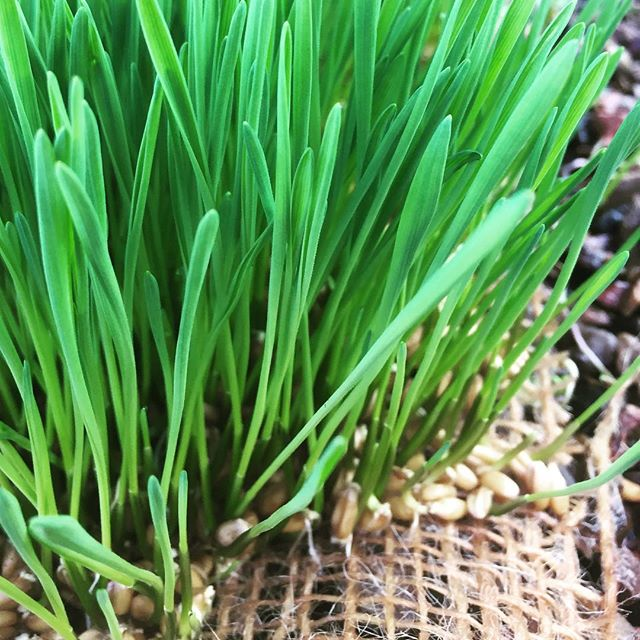 Fresh wheatgrass, grown daily on the farm 🍴👍😃
