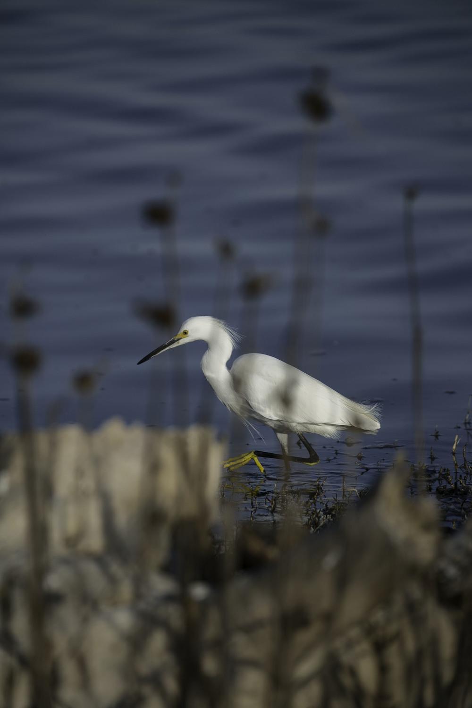 hiding egret.jpg