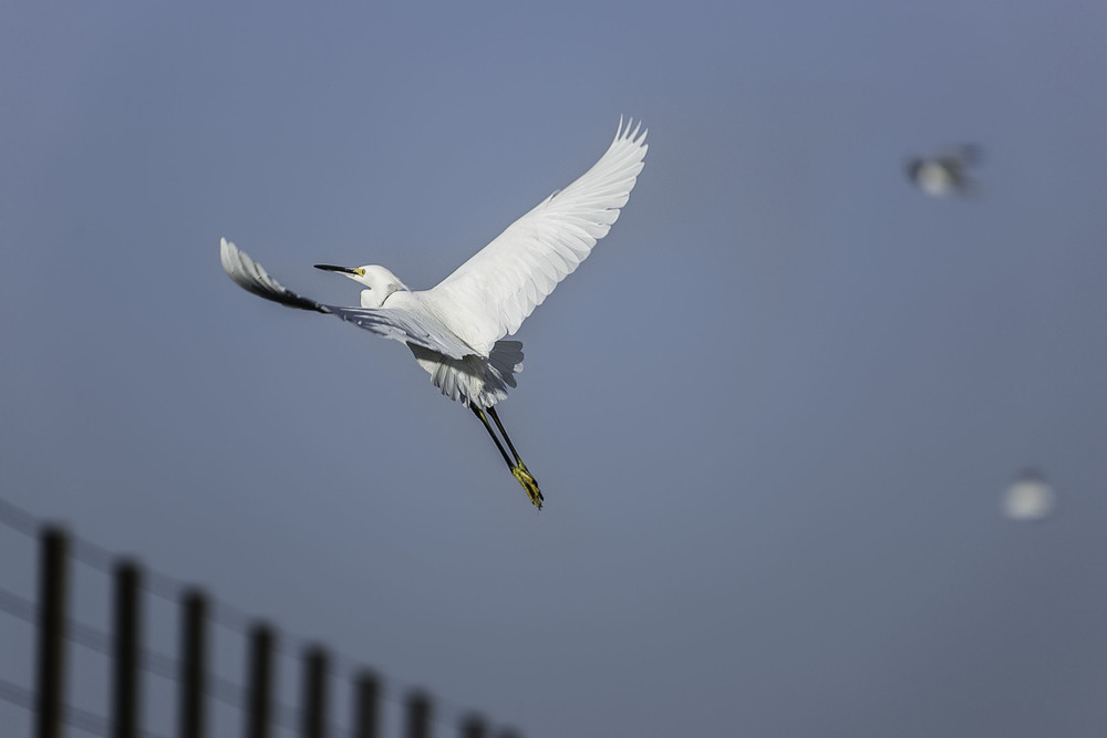 Egret flying.jpg