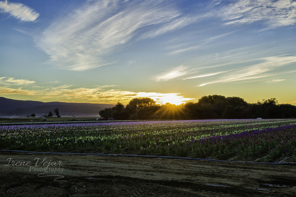 Lompoc Flower Field at Sunset