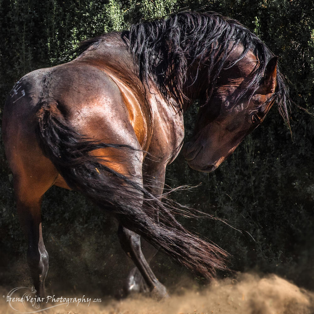 Angry Bay Stallion